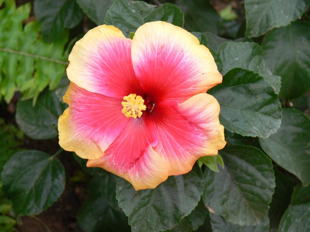 Hibiscus sp for Origen de las plantas ornamentales