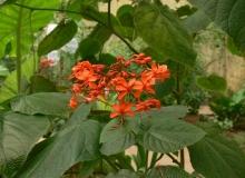 Clerodendrum speciosum