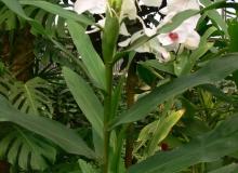 Hedychium coronatum